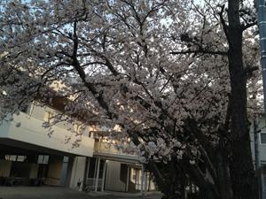 洲高の桜.jpg